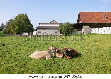 Cows lying in a summer green field; farm, trees and houses. - stock photo