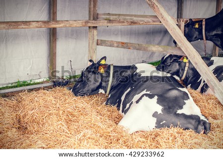 Cows lying in hay in a stable - stock photo