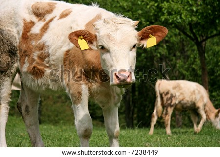 Cows on a green field looking forward - stock photo