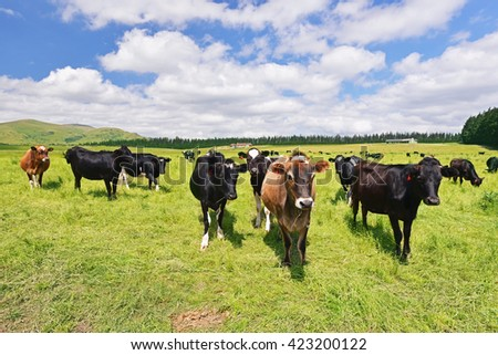 Cows on a green pasture, New Zealand