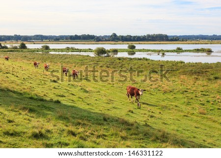 Cows on a medaw at a lake