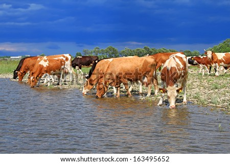 Cows on a watering place - stock photo