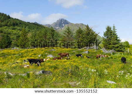 Cows on farmland, Lofoten Norway - stock photo