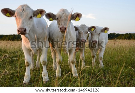 Cows on field at sunset