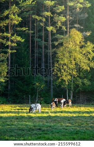 Cows on green grass in the evening with forest in background, Sweden - stock photo