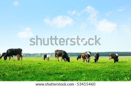 Cows on green meadow and blue sky with clouds - stock photo