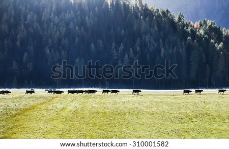 Cows on green meadow in alpine valley , Switzerland  Soft & Dreamy Effect, Low Clarity, background - stock photo