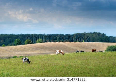 Cows on green meadow. Masuria, Poland.
