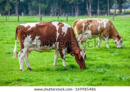 cows on meadow - stock photo