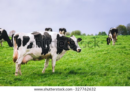 Cows on meadow with green grass. Grazing calves - stock photo
