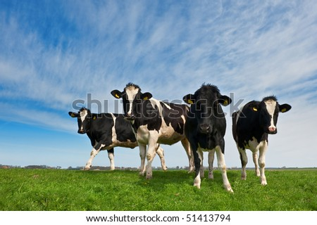 Cows on on farmland in the Netherlands - stock photo
