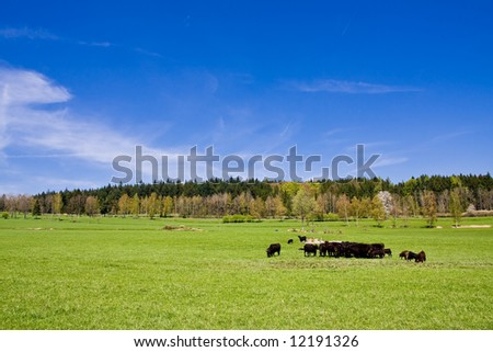 cows on pasture in beautiful landscape