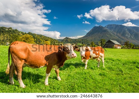 Cows on pasture in the Alps - stock photo