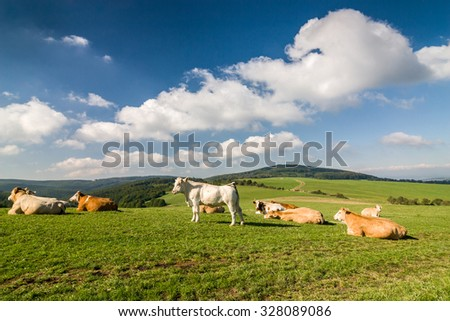 Cows on the green pasture under blue sky with clouds - amazing summer landscape in Czech Republic, Europe - stock photo