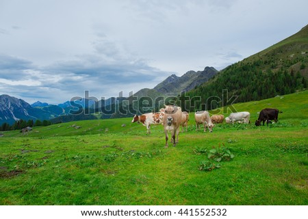 Cows on the green pastures of the Italian alps - stock photo
