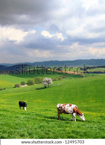 Cows on the spring pasture - stock photo