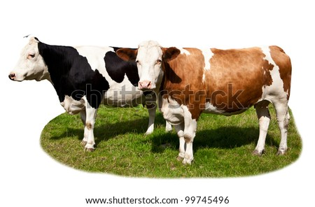 Cows on white background with grass. Cow isolated at the green field - stock photo