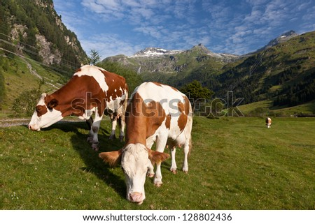 Cows pasturing at green Alpen valley - stock photo