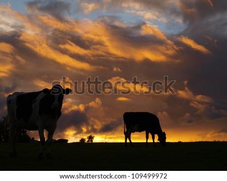 cows silhouette in evening sun - stock photo