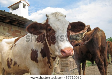 Cows standing by the farm wall - stock photo