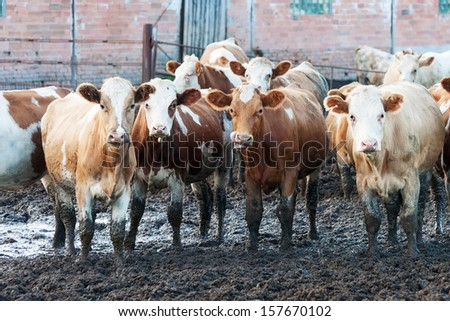 Cows standing in the mud on a russian cattle farm. - stock photo