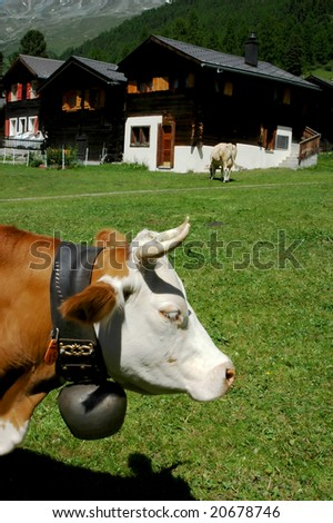 cows wearing cowbells in the swiss alps with chalets in the middle ground and behind snow on the slopes - stock photo