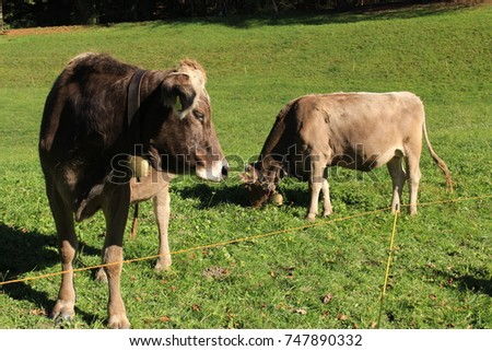 Cows with bells on green meadow in a sunny day in Liechtenstein, Europe.