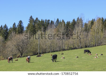 Cows with calves in the pasture