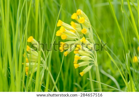 Cowslip (Primula veris). Here seen close up surrounded by green grass on meadow. Shallow depth of field, focus on front flower, low angle. - stock photo