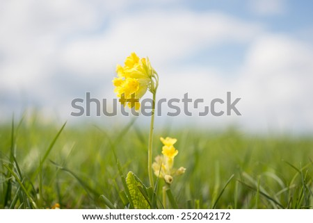 Cowslip, Primula veris in full bloom, reflections in the background - stock photo