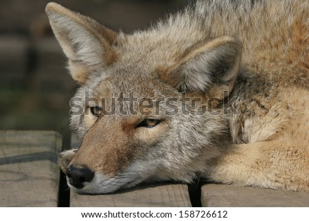 Coyote - stock photo