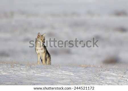 Coyote, Canis latrans, in cold snow frost winter environment Western United States America - stock photo