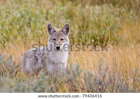Coyote (Canis latrans) in Yellowstone National Park - stock photo