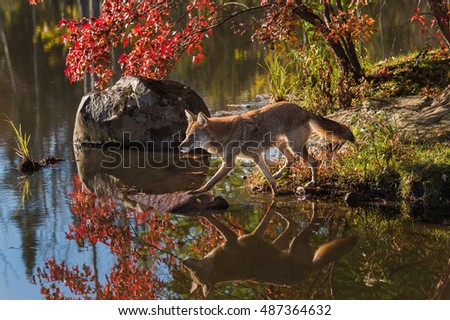 Coyote (Canis latrans) Steps Out To Rock in Pond - captive animal