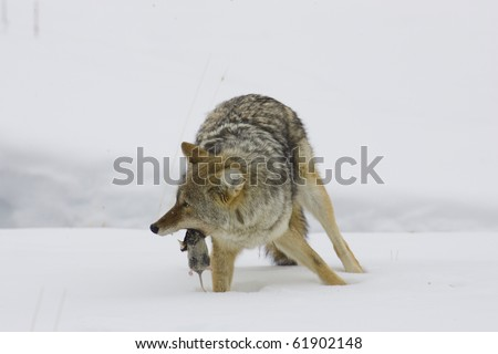 Coyote (Canis latrans), Yellowstone Nat. Park, Montana, Winter