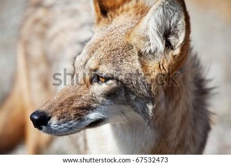 coyote closeup - stock photo
