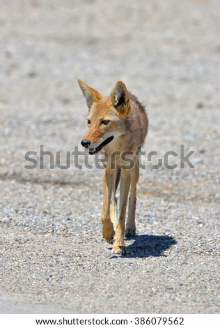 Coyote, Death Valley - stock photo