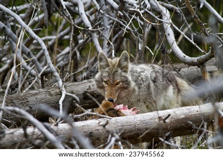 Coyote eating a baby elk it killed - stock photo