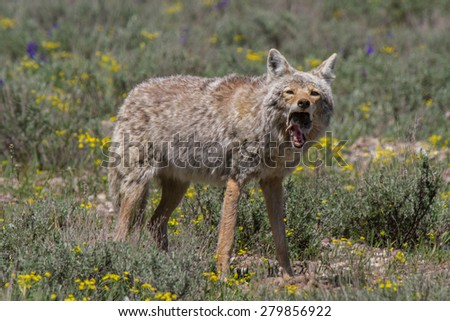 Coyote gobbling down a gopher - stock photo