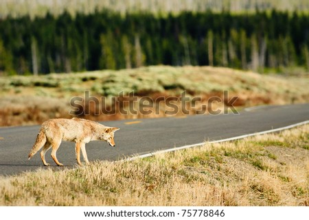 Coyote hunting along road, Yellowstone. - stock photo