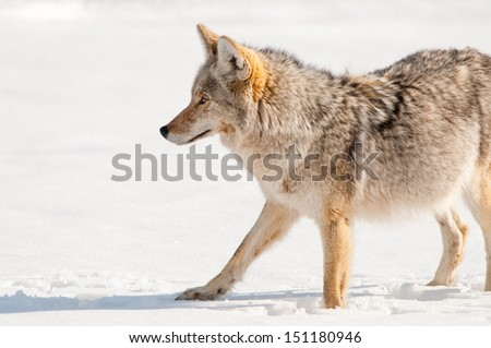 Coyote hunting in Snow - Yellowstone National Park  - stock photo