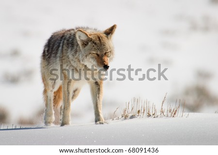 Coyote in walking on bright white snow in Yellowstone National Park. - stock photo