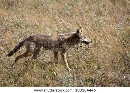 Coyote in Waterton Lakes National Park of Alberta - stock photo