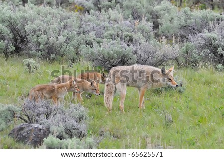 Coyote Mother with her pups - stock photo