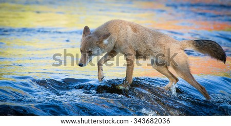 Coyote on river - stock photo