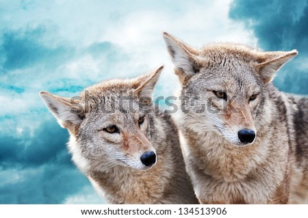 Coyote pair against the blue winter sky. Animals in the wild. - stock photo