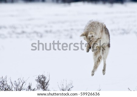 Coyote prepares to dive into the snow in search of prey - stock photo