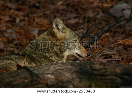 Coyote Profile behind fallen tree - stock photo
