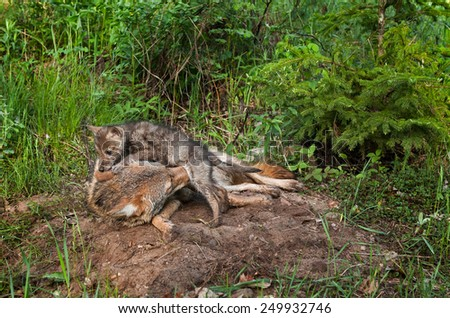 Coyote Pup (Canis latrans) Crawls Over Adult - captive animal - stock photo