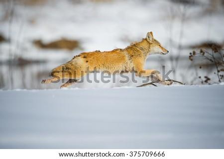 Coyote running - stock photo
